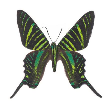 Randig fjäril