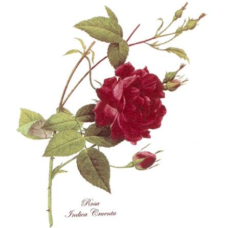Röd ros - 70 mm - 5 st.