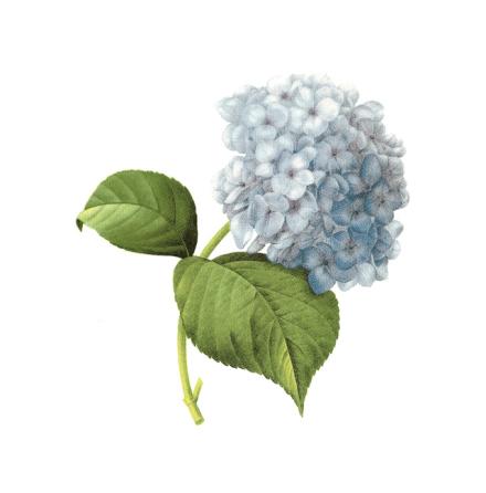 Hortensia blå - 100 x 80 mm - 1 st.