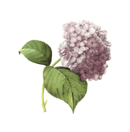Hortensia lila - 100 x 80 mm - 1 st.