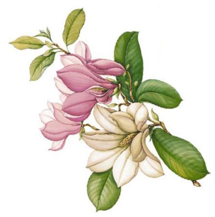 Magnolie kvist 90 mm - 1 st.