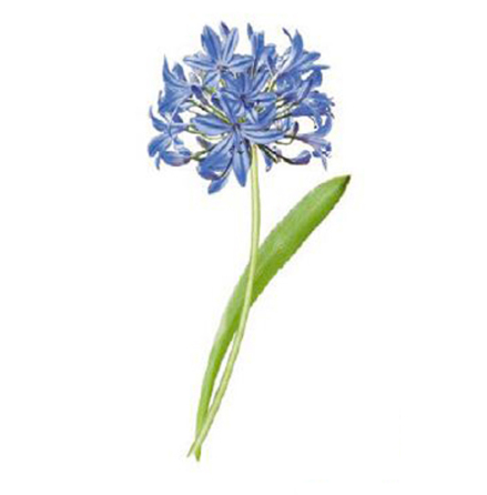 Afrikas blå lilja 80x40mm - 1 st.
